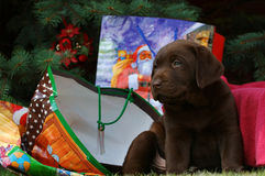 Little labrador at Christmas Royalty Free Stock Photography