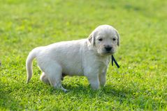 One  little retriever, labrador dog, retriever puppy on green grass background, close up Stock Photography