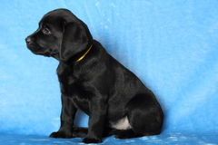 Little labrador puppy Stock Images