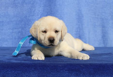 Little labrador puppy on a blue background Royalty Free Stock Photo
