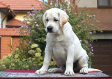 A little labrador puppy on a grey background Royalty Free Stock Photo