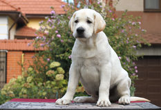 Little labrador puppy on a grey background Stock Photography