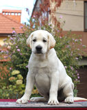 The little labrador puppy on a grey background Stock Image