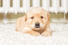 Little labrador Stock Photo