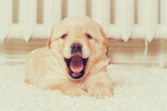 Little labrador puppy lying Royalty Free Stock Photos