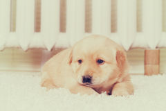 Little labrador puppy lying Stock Image