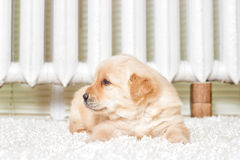 Little labrador puppy lying Stock Images