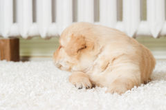 Little labrador puppy lying Stock Photos