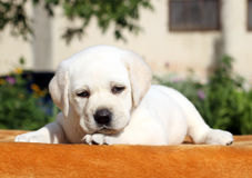 A little labrador puppy on an orange background Stock Images