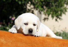 The little labrador puppy on an orange background Stock Images
