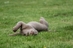 A little labrador puppy is playing outside stock photos