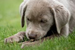 A little labrador puppy is playing outside stock image