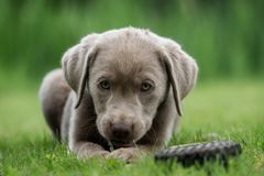 A little labrador puppy is playing outside royalty free stock photo