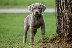 A little labrador puppy is playing outside royalty free stock photography