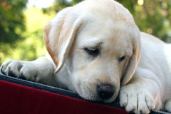 The little labrador puppy on a red background Royalty Free Stock Images
