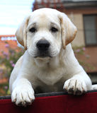 A little labrador puppy on a red background Royalty Free Stock Images
