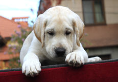 Little labrador puppy on a red background Royalty Free Stock Images
