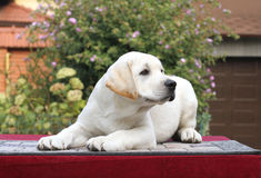 Little labrador puppy on a red background Royalty Free Stock Photo
