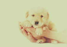Little labrador puppy Stock Photo