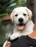 Little labrador puppy on a shoulder Stock Image