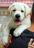 A little labrador puppy on a shoulder Stock Photography