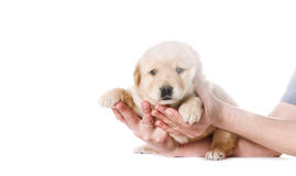 Little labrador puppy Royalty Free Stock Photography