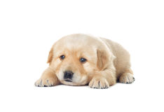 Little labrador puppy Stock Photos