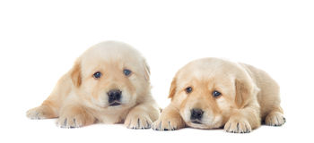 Little labrador puppy Stock Image