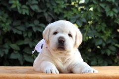 Little labrador puppy on a yellow background Stock Photography