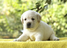 A little labrador puppy on a yellow background Royalty Free Stock Image
