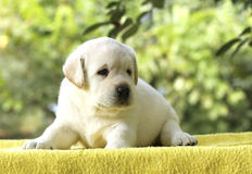 The little labrador puppy on a yellow background Royalty Free Stock Image