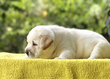 Little labrador puppy on a yellow background Royalty Free Stock Photos