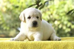 Little labrador puppy on a yellow background Stock Image
