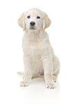 Little labrador retriever Royalty Free Stock Photo