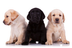 Little labrador retriever puppies Stock Photos
