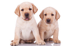 Little labrador retriever puppies panting Stock Photo