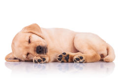 Little labrador retriever puppy dog showing its paws while sleep. Side view of an adorable little labrador retriever puppy dog showing its paws while sleeping on stock image