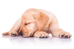 Little labrador retriever puppy dog is sleeping Stock Photo