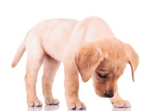 Little labrador retriever puppy dog sniffing something Stock Image