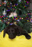 Tiny labrador puppy sleeping near a Christmas tree stock image