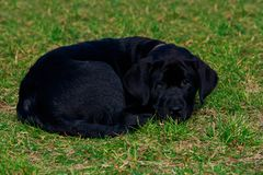 Little Labrador Retriever puppy. Small puppy of breed Labrador Retriever is lying on the green grass royalty free stock photo