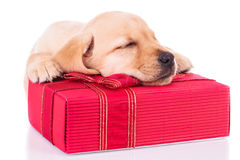 Little labrador retriever is sleeping on a red present box. Adorable little labrador retriever puppy dog is sleeping on a red present box on white background stock photography
