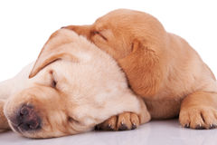 Little labrador retrievers sleeping Royalty Free Stock Photos