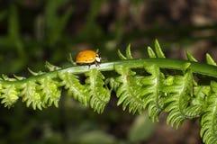 Little lady bug Royalty Free Stock Image
