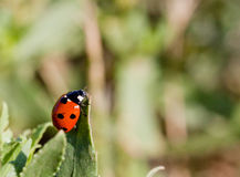Little ladybird on the leave Stock Image