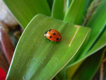 Little ladybird Royalty Free Stock Images