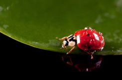 Little ladybird with water droplets Stock Image