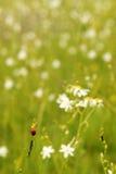 Little ladybug Royalty Free Stock Photo