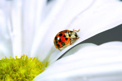 Little ladybug on daisy Stock Photography