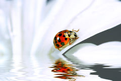 Little ladybug on daisy Stock Images